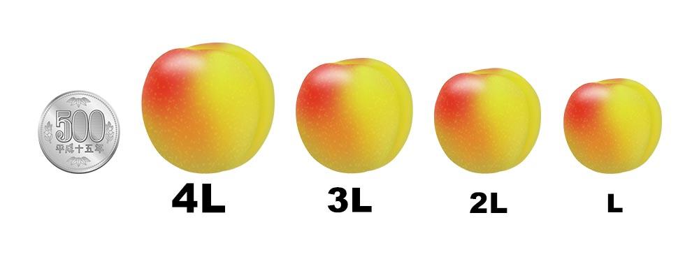 梅の大きさをチェック