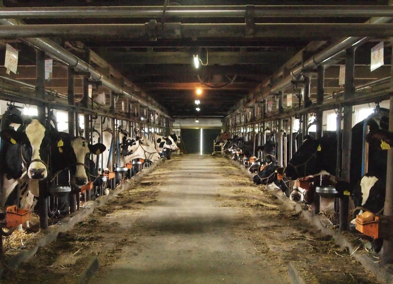 普通の牛は小屋で育てられる